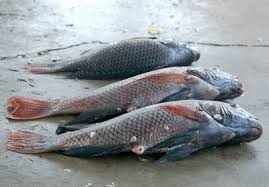 nile_perch_fish_nyamatamu
