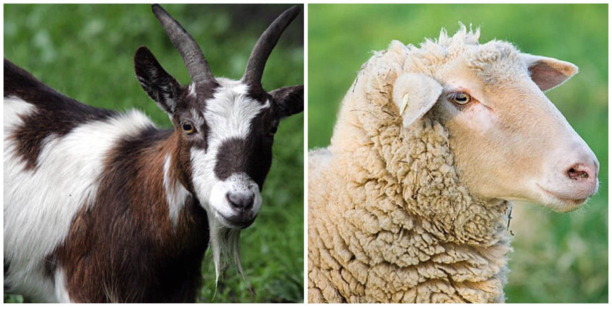 Goat vs. Sheep Difference - Order Organic Meat Online – Buy Fresh ...