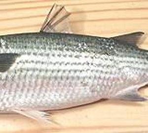 mullet-fish-nyama-tamu2