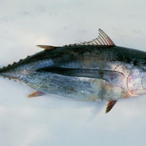 tuna_fish_whole_nyamatamu2